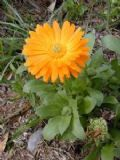 CALENDULA Pot Marigold 30 large seeds - FREE POST